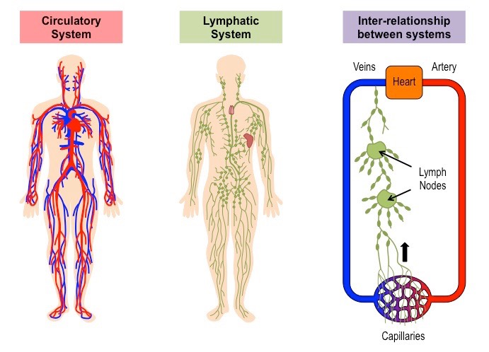 lymph and blood system